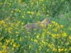 Coyote in Wildflowers